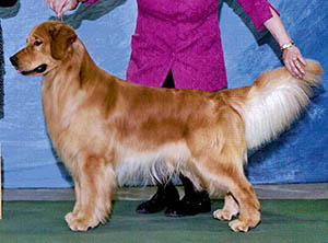 kokopelli golden retrievers brady Kokopelli N' Tradewind's Most Valu'Ball Patriot BOSS