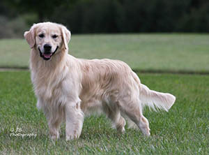 kokopelli golden retrievers flame UKC CH Icamani Light My Fire
