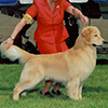mi golden retriever breeder kokopelli goldens boys icon