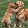 mi golden retriever breeder kokopelli goldens home icon