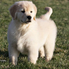 mi golden retriever breeder kokopelli goldens puppy information icon