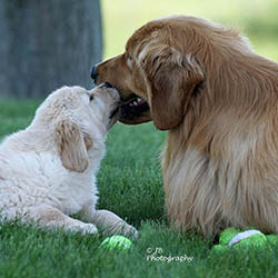 kokopelli golden retrievers puppies